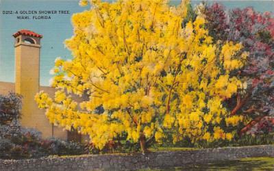 A Golden Shower Tree Miami, Florida Postcard
