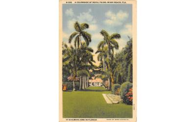 A Colonnade of Royal Palms Miami Beach, Florida Postcard
