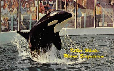 Killer Whate, Miami Seaquarium Florida Postcard