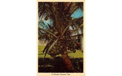 A Florida Cocoanut Tree Postcard