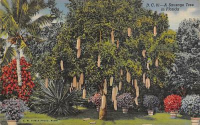 A Sausage Tree in Florida, USA Postcard