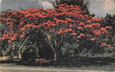 A Royal Ponciana Tree in FL, USA Misc, Florida Postcard