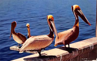 A peculiar bird is the pelican Misc, Florida Postcard
