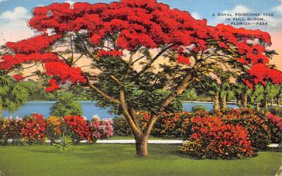 A Royal Poinciana Tree in Full Bloom, FL, USA Misc, Florida Postcard