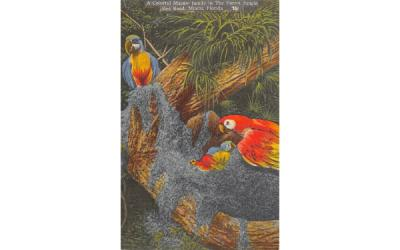 A Colorful Macaw Family, Parrot Jungle, Red Road Miami, Florida Postcard