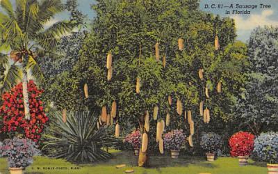 A Sausage Tree in FL, USA Misc, Florida Postcard