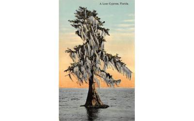 A Lone Cypress, FL, USA Misc, Florida Postcard