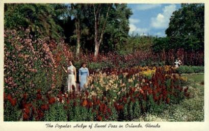 Sweet Peas - Orlando, Florida FL Postcard