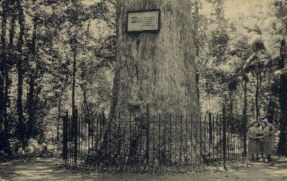 Giant Cypress Tree - Orlando, Florida FL Postcard