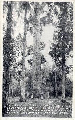 Oldest Cypress - Orlando, Florida FL Postcard