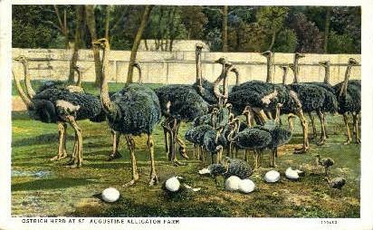 Ostrich Farm - St Augustine, Florida FL Postcard