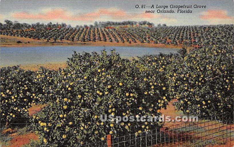 Large Grapefruit Grove - Orlando, Florida FL Postcard