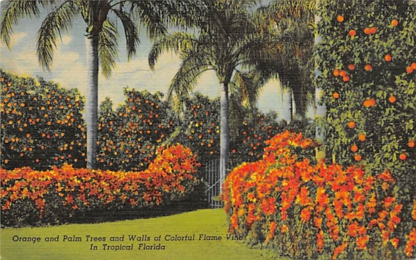 Orange and Palm Trees Orange Groves, Florida Postcard