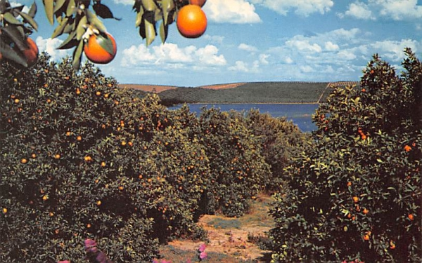 Florida Orange Grove Scene Postcard