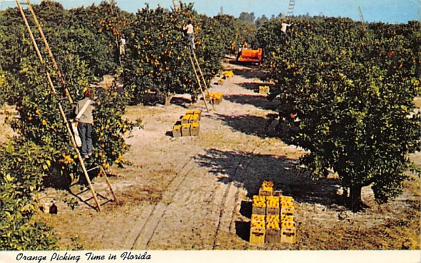 Orange Picking Time in Florida, USA Postcard