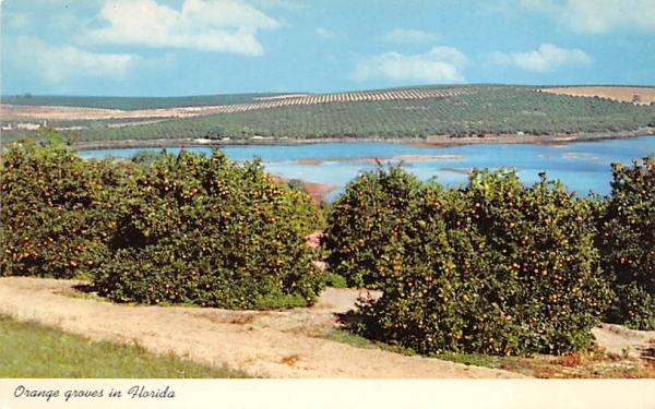 Orange groves in Florida, USA Postcard