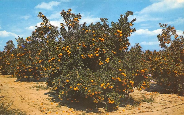 Beautiful Orange Groves in Central Florida, USA Postcard