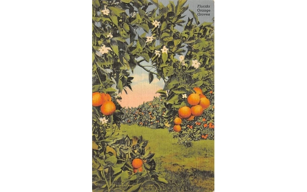Florida Orange Groves Postcard
