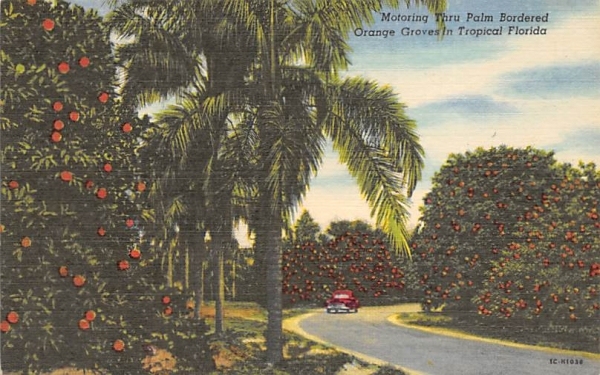 Orange Groves in Tropical Florida, USA Postcard