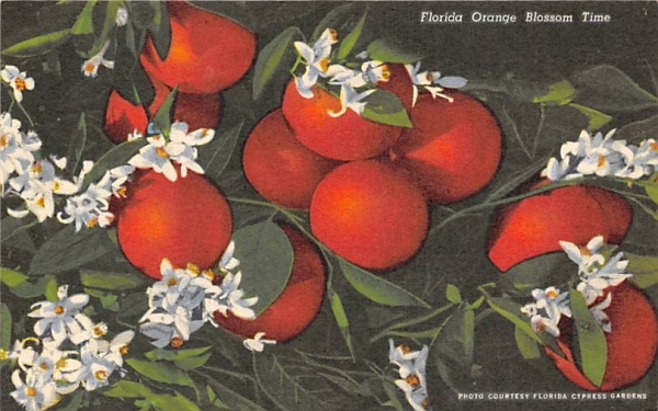 Florida Orange Blossom Time Postcard
