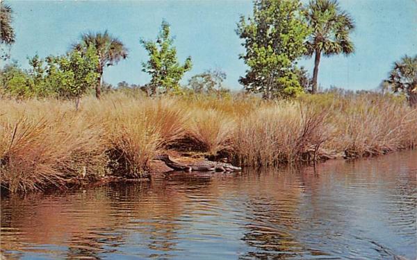 Near Ormond Beach,  Florida alligator rests on Tomoka River Postcard