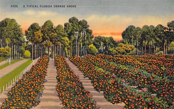 A Typical Florida Orange Grove Postcard