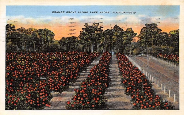 Orange Grove along Lake Shore, FL, USA Orange Groves, Florida Postcard