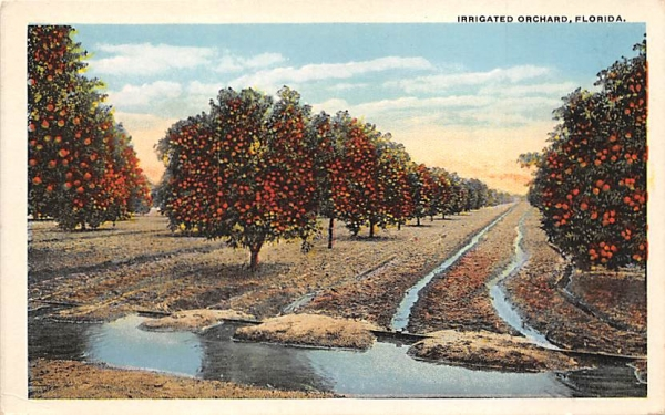 Irrigated Orchard, FL, USA Orange Groves, Florida Postcard