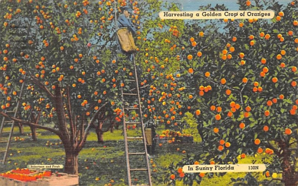 Golden Crop of Oranges in Sunny Florida, USA Postcard