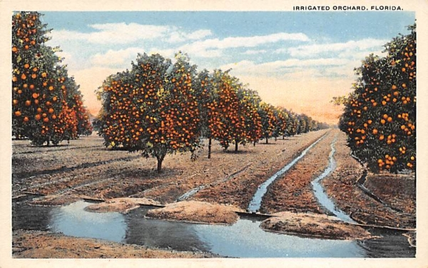 Irrigated Orchard Orange Groves, Florida Postcard