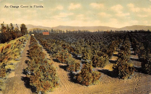 An Orange Grove in Florida, USA Postcard