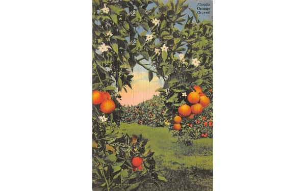 Florida Orange Groves, USA Postcard