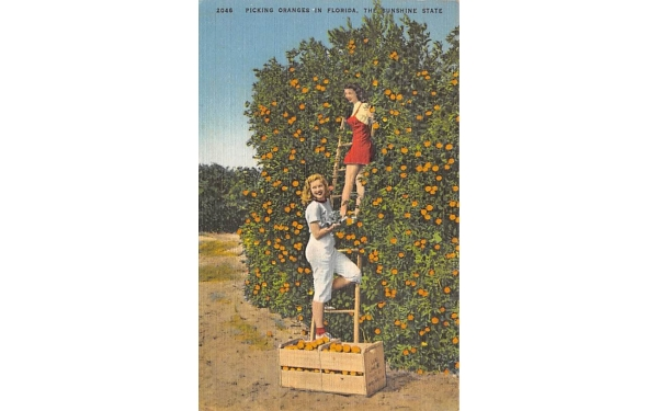 Picking Oranges in Florida, USA Postcard