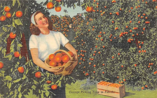Orange Picking Time in FL, USA Orange Groves, Florida Postcard