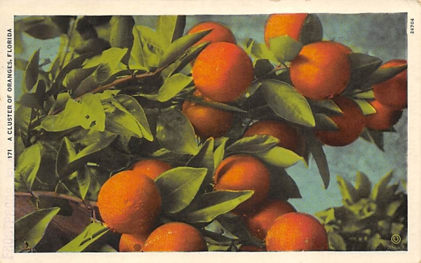 A Cluster of Oranges, FL, USA Orange Groves, Florida Postcard