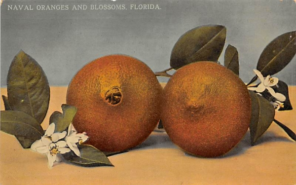 Naval Oranges and Blossoms, FL, USA Orange Groves, Florida Postcard