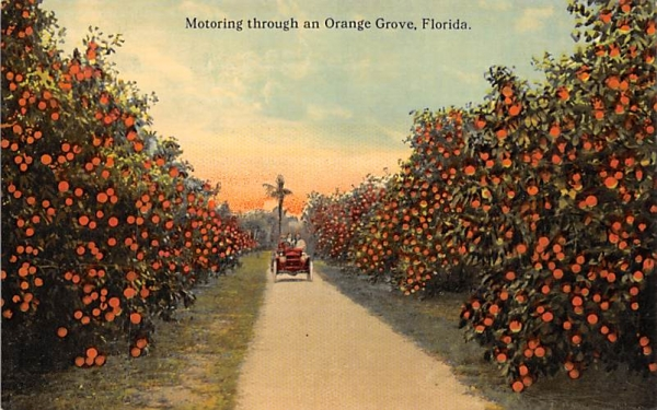 Motoring through an Orange Grove, FL, USA Orange Groves, Florida Postcard