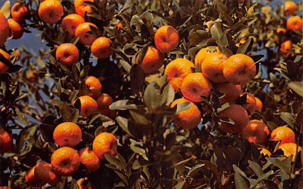 Florida Tangerines Postcard
