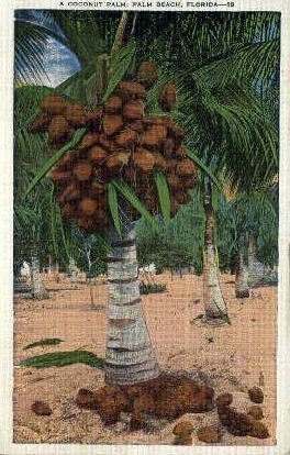 Cocoanut Palms - Palm Beach, Florida FL Postcard