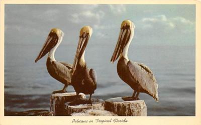 Pelicans in Tropical Florida, USA Postcard
