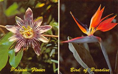 Two of Florida's Most Spectacular Flowers Postcard