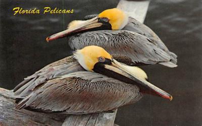 Florida Pelicans, USA Postcard