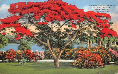 A Royal Poinciana Tree in Full Bloom Palm Beach, Florida Postcard