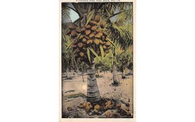 A Cocoanut Palm Palm Beach, Florida Postcard