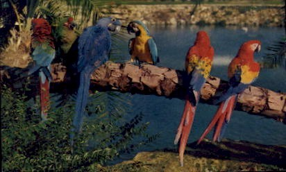 Trained Parrots, Busch Gardens - Tampa, Florida FL Postcard