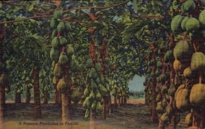 A Papaya Plantation in Florida - Misc Postcard