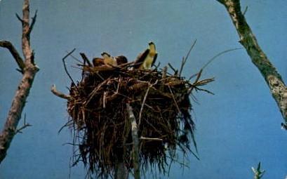 The Osprey Nesting Here - Everglades National Park, Florida FL Postcard