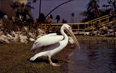 Pelican Pete, Busch Gardens - Tampa, Florida FL Postcard