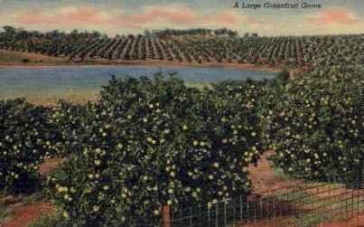 A Large Grapefruit Grove - Misc, Florida FL Postcard