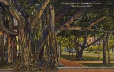 Banyan Tree - St Petersburg, Florida FL Postcard